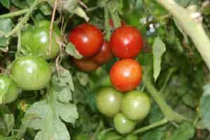 Tomatoappu1